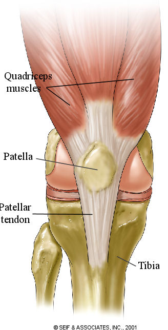 Anterior Cruciate Ligament Acl Of The Knee